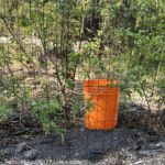 How to use a bucket watering system for fruit trees.